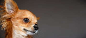 Funny red Chihuahua portrait royalty free stock images