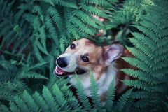 Red corgi dog puppy walks in the park and hid in the thick leaves of a fern and peeks smiling. Funny red corgi dog puppy walks in the park and hid in the thick stock photography