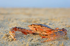 Funny red crab Stock Photos