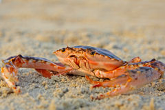 Funny red crab Stock Photo