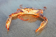 Funny red crab Royalty Free Stock Image