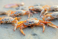 Funny red crab Royalty Free Stock Images