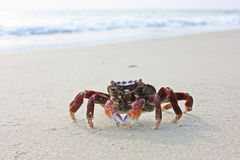 Funny red crab on the beach in Varkala, Kerala Royalty Free Stock Image