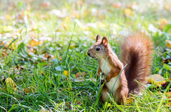 Funny red cute squirrel standing in green grass in park Royalty Free Stock Images