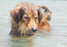 Funny red dog in seawater Stock Images