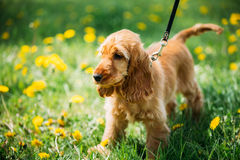 Funny Red English Cocker Spaniel Dog In Green Grass Royalty Free Stock Images