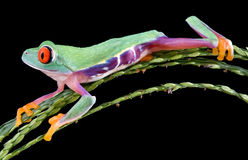 Funny red-eyed tree frog. A baby red-eyed tree frog is sprawled out in a funny position on a plant Stock Image