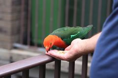 Funny red and green parrot biting the hand that`s feeding it. A funny red and green parrot biting the finger of a man`s hand that is feeding it royalty free stock photo