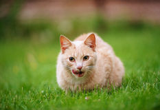 Funny red-haired cat Stock Photography