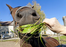 Funny red horse eat green grass Royalty Free Stock Photography