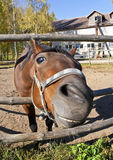 Funny red horse on farm Stock Photography