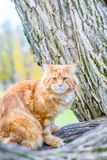 Funny Red Maine Coon Cat sitting on the Tree in Autumn Forest like Cheshire Cat. Vertical View Royalty Free Stock Photos