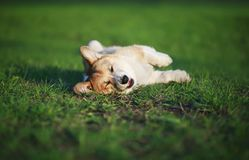 Funny red puppy Corgi lies on green young the grass on spring sunlight meadow in Park quite having opened pink his mouth and stock photography
