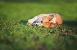 Funny red puppy Corgi lies on green young the grass on spring Sunny meadow in Park and quite dormant. Funny puppy Corgi lies on green young the grass on spring stock image