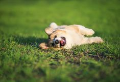 Funny puppy Corgi lies on green young grass on spring Sunny meadow in Park quite having opened pink his mouth. Funny red puppy Corgi lies on green young grass on royalty free stock photos