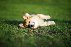 Red puppy Corgi lies on green young grass on spring Sunny meadow in Park quite sticking out language. Funny red puppy Corgi lies on green young grass on spring royalty free stock image