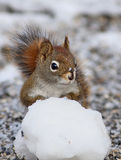 Funny red squirrel Stock Images