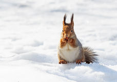 Funny red squirrel eating in the snow Royalty Free Stock Image