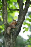 Funny Red Squirrel Stock Image