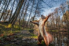 Free Funny Red Squirrell Standing In The Forest Like Master Of The Universe Stock Photo - 159873480