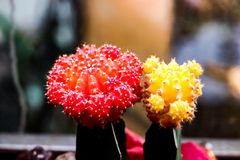 Funny red and yellow cactuses in one of Moscow gardens royalty free stock photo