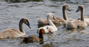 The funny redhead duck and four young swans Stock Photography