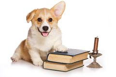 Funny redhead welsh corgi pembroke puppy and old books isolated stock photos