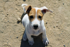 Funny redhead white puppy. In the sand Stock Photo