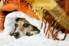 Funny resting dog muzzle Royalty Free Stock Photography