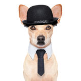 Funny retro dog. Comedian classic dog terrier, wearing a bowler hat ,black tie and mustache, isolated on white background stock image