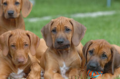 Funny Rhodesian ridgeback buddies Royalty Free Stock Photo