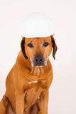 Funny Rhodesian Ridgeback dog with helmet stock photography