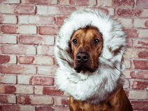 Funny Rhodesian Ridgeback dressed in fur scarf Stock Images