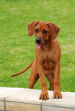 Funny Rhodesian Ridgeback puppy. Full body of a cute little purebred Rhodesian Ridgeback dog puppy with funny facial expression standing with front feet on wall Stock Photos