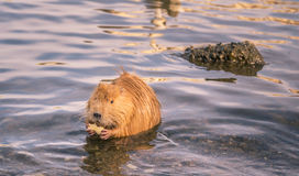 Funny river animal with apple slice in paws. Cute orange coypu holding a slice of apple in its paws, on Vltava river in Prague, Czech Republic Stock Images
