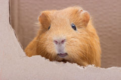 Funny rodent Stock Photo