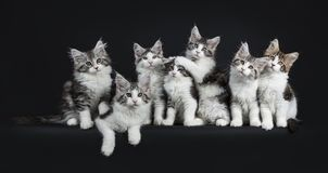 Funny row of seven playing black tabby with white Maine Coons cat stock images