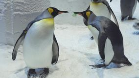 Funny royal penguins communicate in snow stock footage video. Funny royal penguins communicate in the snow stock footage video stock video
