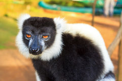 Funny ruffed lemur Royalty Free Stock Photography