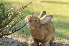 Funny Rabbit Itches stock image