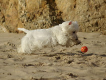 Funny Running Dog at beach royalty free stock photos