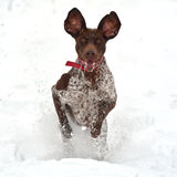 Happy funny dog  running in the snow Royalty Free Stock Photography