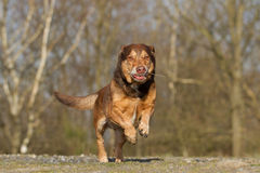 Funny Running Dog Royalty Free Stock Image