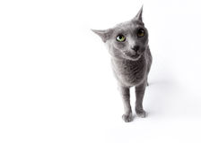 Funny Russian Blue Cat Stock Image