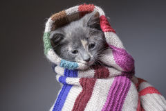 Funny sad young freezing cat wrapped in a scarf. Funny sad young freezing cat wrapped in a striped woolen scarf, in preparation for the winter cold Stock Photography