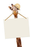 Funny Safari Giraffe Carrying Blank Sign. Funny image of giraffe wearing safari guide hat and carrying a blank sign in his mouth Stock Photo