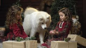 Funny Samoyed dog tries the snow from the hands of the girl, the sisters sitting among the Christmas gifts. White fluffy dog and two little sisters in a room stock video