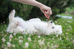 Free Funny Samoyed Puppy Dog Top View In The Garden Stock Photos - 224631363
