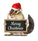 Funny santa claus, chipmunk hold blackboard with merry christmas. Funny santa claus, squirrel hold blackboard with merry christmas wish Royalty Free Stock Photos