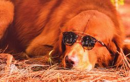 Funny scene of a dog golden retriever wearing sunglasses. Dog resting on the ground with a nature background. Warm colors Stock Photos